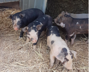 Baby Piglets ready for May/June