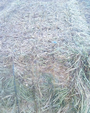 Oaten Hay With Some Vetch