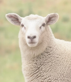 WANTED 1250 Store Lambs