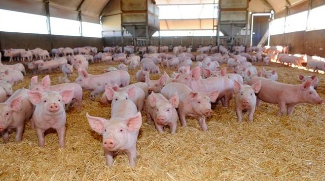 WANTED Piglets & Porkers