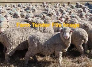 WANTED 60-80 Merino ewes