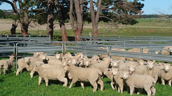 Coopworth x Ewes with lambs at foot