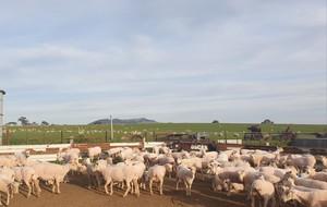 FREE: Sheep Lice Treatment
