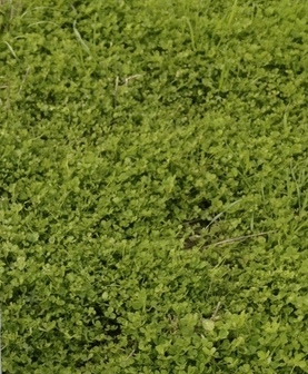 Clover Hay ( Balansa ) 8x4x3 - 870 x 500 KG Approx Bales