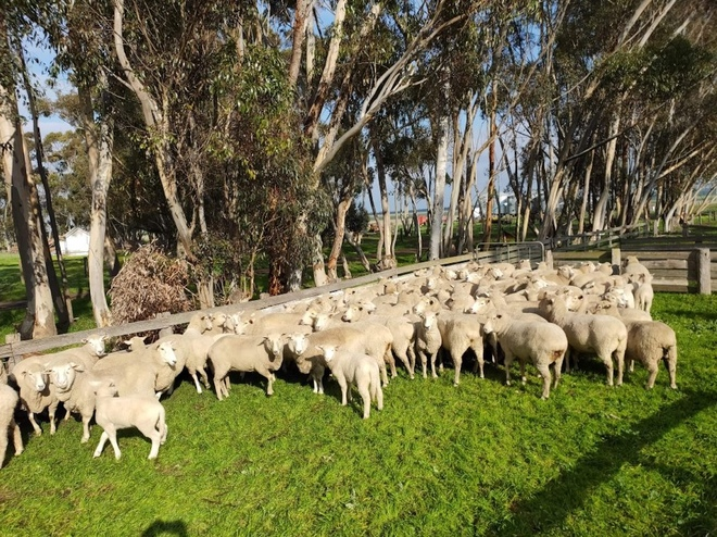 First Cross Ewes