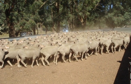 Agistment for 1200 Merino Ewe Hoggets Wanted