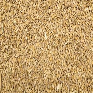 100mt Forage Barley Seed