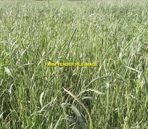 WANTED 5-6mt Tetila Ryegrass Seed