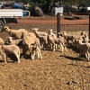270 ewes with 270 lambs at foot