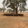 264 merino wether lambs