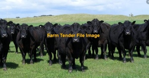 WANTED 10-15 Angus Stud Bred Cows