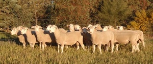 2019 Pepperton Poll Dorset Rams - High Lambplan Carcase Plus and Eating Quality Index
