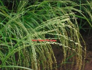 Teff Grass Rolls