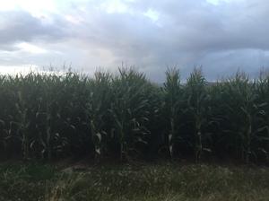 500mt Corn