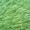 MAGNIFF PERENIAL RYE GRASS SEED