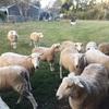 Wiltipoll Maiden Ewes 10mths