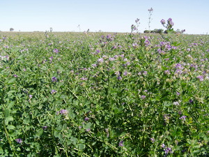 WIZARD LUCERNE for Hay & Stock Feed