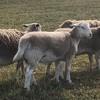 Australian White x Dorper lambs