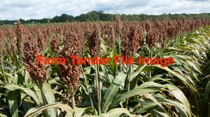 Sorghum x 3 m/t In B ulka Bags Wanted
