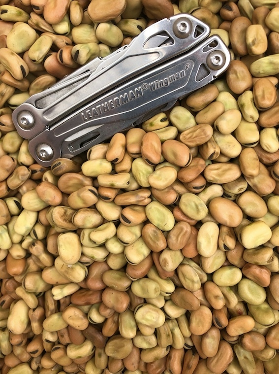 Faba Bean Seed