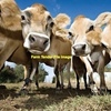 WANTED Dairy Cows/Calves