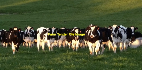 Agistment available for Dairy Heifers or Beef Cows 100 ha Sorghum