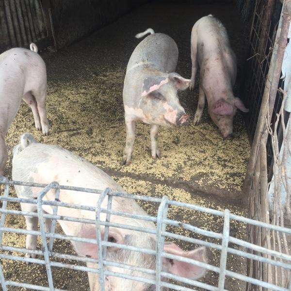 Gilt pigs
