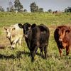 PCAS Grain Free Beef Pellets