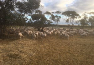 300 Merino Ewes with 280 lambs