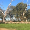 Well bred Merino Ewes with lambs at foot