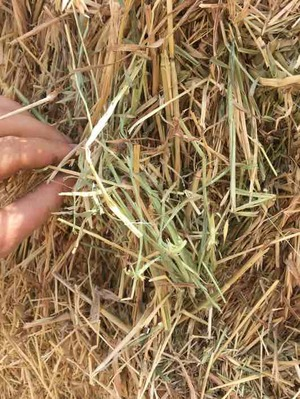 Oaten Hay with Rye Grass and Barley in 8x4x3 Bales
