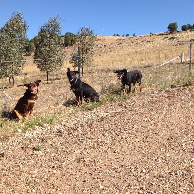 3 Working Kelpie Dogs