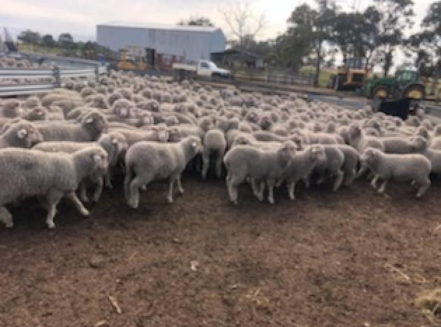 EOI - Approx 1500 MPM Merino Mixed Sex Lambs - WA