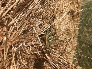 Rye Grass Straw