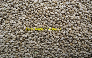Panorama Millet Seed Wanted - Not treated in growth or storage
