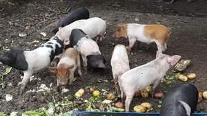 Lot sale = 11 x 8 week old pigs