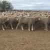 Future Breeder ewe lambs