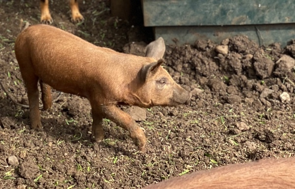 Duroc/Berkshire spit pigs (4 x left)