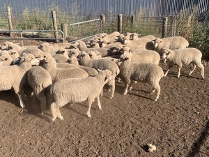 45 1st X Ewe Lambs