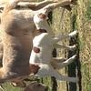 Dorper/Damara 1.5 year old ewes