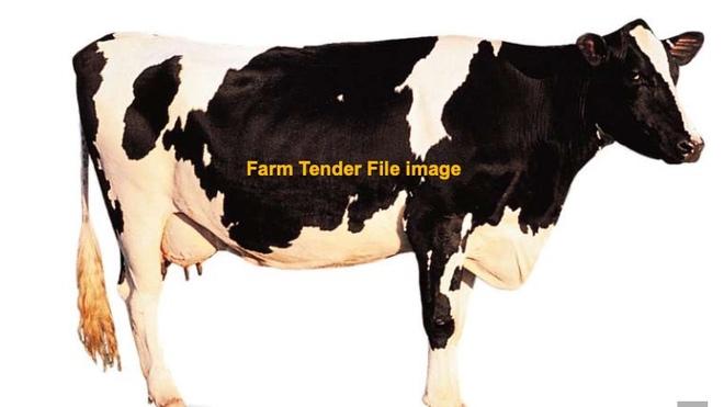 WANTED Dairy Herd Milking Cows