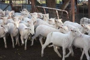270 Shorn Cross Bred Lambs For Sale - Sept/Oct Drop