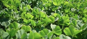 WANTED Seed Clover