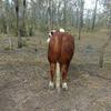 Registered Braford Bull
