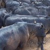 20 MS Black & Black Baldy calves, 6-8 months.