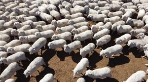 70 Gingie Poll Merino Rams