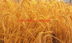 Vixen Wheat off the Header