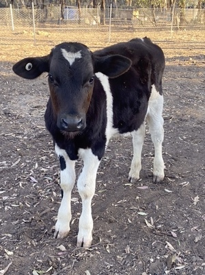 WANTED Poddy Calves