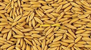 30mt Brusher Oat Seed