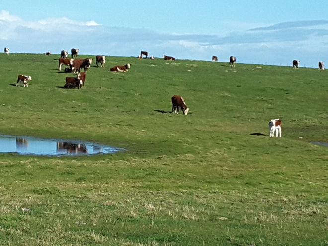 Agistment for Cattle